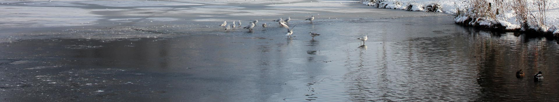 Seagulls on an icy Beacon Pool